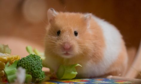 Hamster Live Chat photo 6
